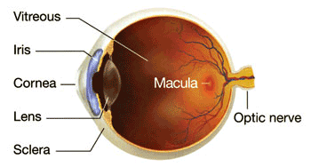 macular degeneration Saffron eye macula diagram, eye health supplement, lutein, resveratrol vitamins and antioxidants for macular degeneration